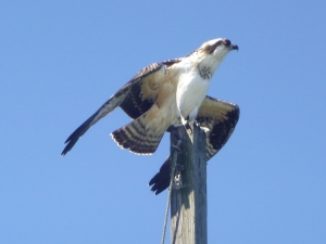 Osprey, by Leandro