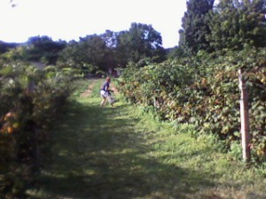 Allison -- our long-time CSA partner -- picks her berries.