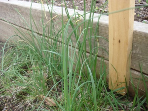This is a nice bit just by the raise beds. Note that it is not flat but hollow, and grows to different lengths