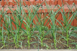 These we planted back in October...of 30 garlic cloves planted, 29 are looking fab and the other, well who cares?