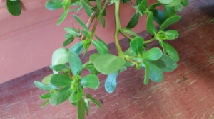 Purslane is a succulent. those fat leaves hold water during drought.