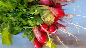 Another view of the surprise radish harvest